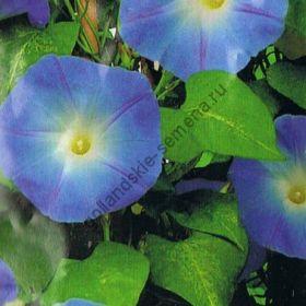 "Ипомея сорт ""СИНИЙ КЛАРКС"" (Clarks Blue)    2 гр.    60 семян"