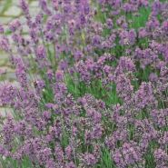 "Лаванда  сорт  ""ИСТИНА""   (Lavendel echte)   200 семян"