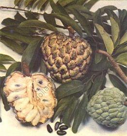 """Аннона  сорт """"СКВАМОЗА"""" (Annona squamosa)   10 семян"""
