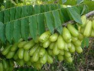 Билимби   (Averrhoa bilimbi)   10 семян