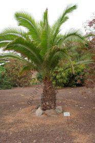 """Пальма  сорт """"ДИПСИС МАДАГАСКАРСКИЙ""""  (Dypsis madagascariensis)   10 семян"""