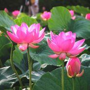 "Лотос  сорт ""Розовый Лотос"" (Nelumbo nucifera Pink)  10 семян"