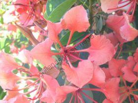 """Баугиния """"Гальпини"""" (Bauhinia galpinii) 10 семян"""