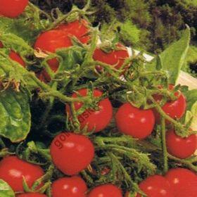 """Томат сорт """"МИКРО ТОМ"""" (Micro Tom)   10 семян"""