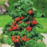 """Томат сорт """"РУБИ РЕД"""" (Ruby Red) 90 семян"""