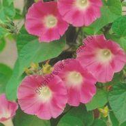 "Ипомея сорт ""КРИМСОН РАМБЛЕР""   (Crimson Rambler)     100 семян"