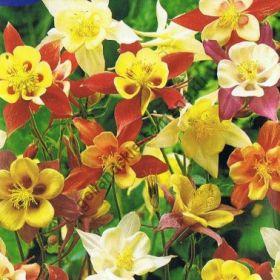 """Аквилегия  сорт """"ГИГАНТ МАККАНА ГИБРИД""""  (McKana Giant Hybrids)   0.2 гр.  160 семян"""