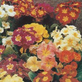 """Примула сорт  """"МИКС""""   (Primula mix)   0.25 гр."""