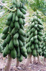 "Папайя  сорт ""БЕРГ"" (Carica pubescens - berg papaya)   10 семян"