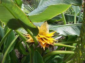 """Банан  сорт """"ЗОЛОТОЙ ЛОТОС"""" (Gouden lotus)   10 семян"""