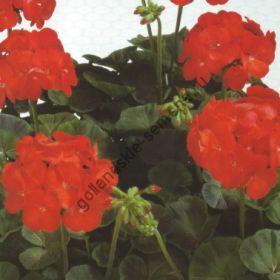 """Пеларгония сорт """"СКАРЛЕТ Ф2""""(Scarlet F2) 20 семян"""