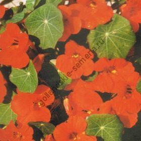 "Настурция сорт ""ИМПЕРАТРИЦА ИНДИИ Ф2""(Empress of India F2) 3 гр семян"