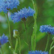 "Василёк сорт ""КЛАССИКА""(Korenbloem blauw) 225 семян"