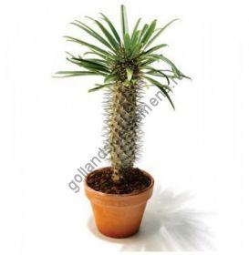 """Пахиподиум """"ЖАЙИ"""" (Pachypodium geayi) 10 семян"""