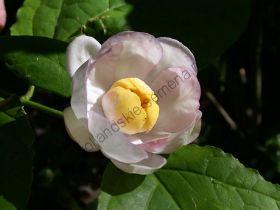 Каликант  (Calycanthus chinensis) 10 семян