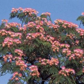Альбиция  (Albizia julibrissin) 10 семян
