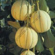 """Дыня сорт """"ЧАРАНТАИС-КАНТАЛУП"""" (Cantaloup Charentais )  1 гр. семян"""